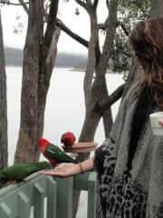 Feeding King Parrots in Australia