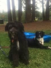 Izzy in front & Koda in back