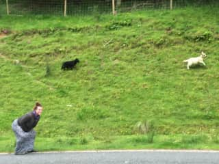 Me scaring baby sheep in Scotland...