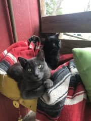 Minxie and Juno, spoiled ranch cats.