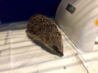 A Hedgehog at the rescue centre