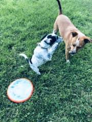 Sammy loves Frisbee and Sadie likes to chase Sammy.