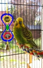 Demi the rescued budgie and a real sweetheart.