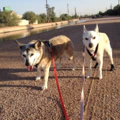 Walking Jac & Sam on the AZ Canal.  Sam had issues with curling/scrapping her back paws so I made leather booties until she healed