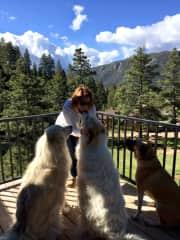 2 Pyrenees Mountain Dogs and an Anatolian Shepherd in Colorado