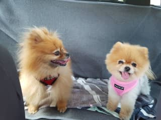 Gizmo & Cami on the back seat of my car. Happy little chappies!