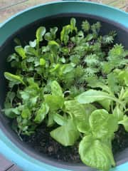 Growing edible leaves