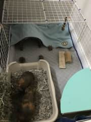 Here is a picture of both piggies in their home. Like I said, they're nearly identical, except for one has one white dot on his head. They are both boys and I believe they are siblings.
