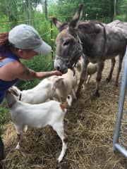 Helping my friend feed the farm animals at a recent house sit.