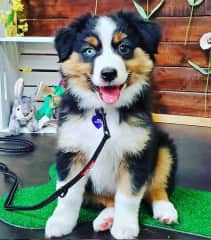 Our Mini Aussie puppy, Ashe. We named her after the Irish name Aisling (pronounced Ash-ling), which means vision or dream. Fun fact, we stayed at the Ashling hotel in Dublin for our 2018 Honeymoon!