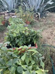The vegetable patch: tomato's, basil, chilli, green beans ...