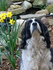 Stewie smelling the daffodils.