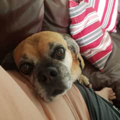 Killean, a snuggly puggle, using me as a pillow