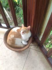 Tabby in his coal pot, our Caribbean Kitty