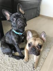 check us out on instagram @freya_and_arya_the_frenchies