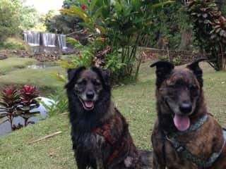 Smokey and Bandit, a brother/sister Kauai poi dog pair