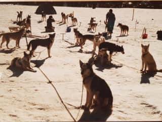 A team of Christophe's Husky's anxiously waiting to be on their way
