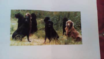 The eight lovely flat coated retrievers I looked after for a year for a farmer.