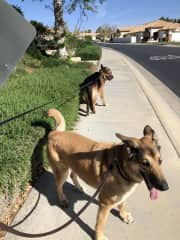 Walking two german shepherds, who do not necessarily agree on which direction to go!