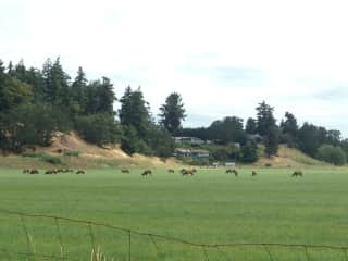 migrating Roosevelt elk herd next door