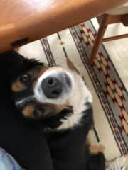 Kali trying to get my attention while I work at the dining room table (Cloverdale housesitting Jun-Jul 2019)