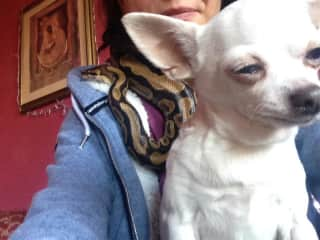 It's not every day you get to make friends with a python and a chihuahua - at the same time!