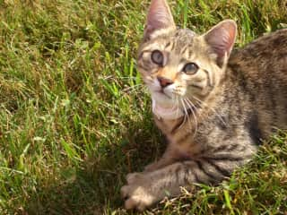 Charlie the Ocicat. Enjoy watching special breeds.