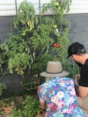 Tending to the tomatoes