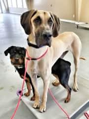 Bonnie and Boris at dog class