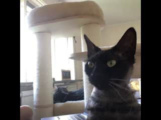 Chi is a very demanding little cat and always wants attention I believe she is a Peterbald cross with a sphynx. Or she could be 100% Peterbald, as she is very oriental in her personality. Chi has a brush coat, crinkly whiskers and is unusual to look at