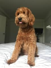 Maple the Labradoodle