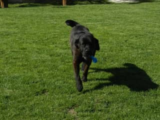 Dogsitting for 'little' Napo' a Cane Corso