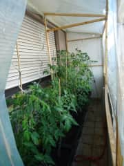 tomatoes on the balcony