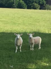 Lambs on a country property