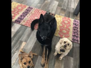 Blue, Pico and little dog Gus who we babysit very often in our home while his mom travels.