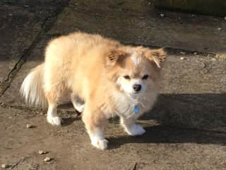 Very fluffy long haired chihuahua!