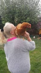 Used to have ex battery hens who liked sitting on laps and shoulders
