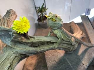 Spike loves dandelions