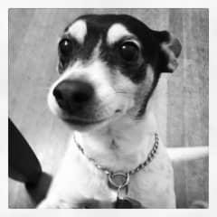 My rat terrier Willie, who is now barking in heaven! :)