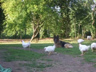 My dog Shona with our chickens in 2011