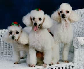 My darling poodle family portrait.  From the left is Bud, Rose and Mimi❤️
