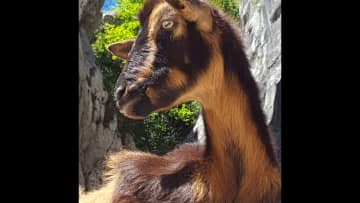 And a Spanish goat in Caceres gorge. Another wonderful creature.