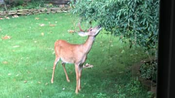 Deer in our front yard