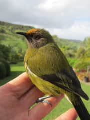 a bell bird I rescued after he flew into the window