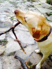 Our very special labrador TrustedHousesitters friend Brady from Stuttgart