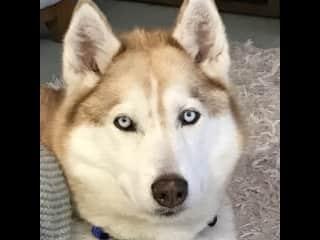 The blue eyed unblinking Husky stare.