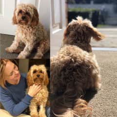 The prettiest Cavoodle in all the land--or at least New Zealand... This is Francesca (aka Frankie) with her aunty Lindsay