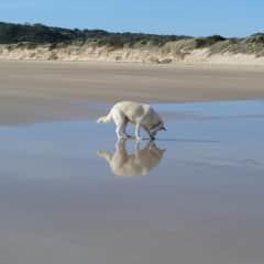DOgs love the beach! Caesar the Swiss White (like an Alsatian)