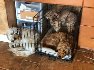 The White Golden is my puppy Magnolia. The Golden Golden Doodle Cooper is my family's. The Mini Poodle Shaggy is my sisters. At home we share Dog duties, but when my parents are away in the winter in Florida. I take on full responsibility