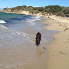 Bruce, another 'borrowed' dog, loves retrieving sticks at the beach